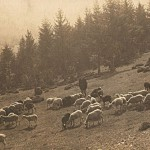 Pasenie oviec