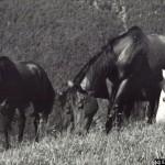 Kone na pastve